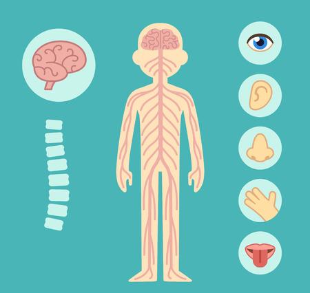 Illustration pour Nervous system infographic chart elements. Nerves spine brain and the five senses. - image libre de droit
