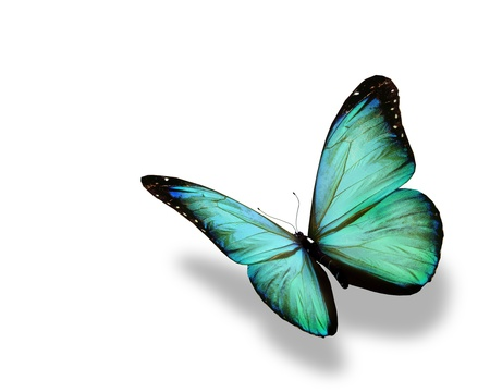 Photo for Turquoise butterfly flying, isolated on white background - Royalty Free Image