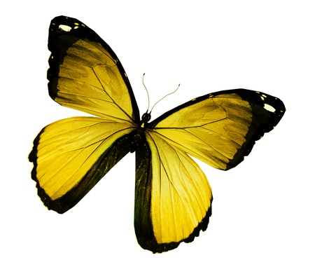 Photo pour Morpho yellow butterfly , isolated on white - image libre de droit