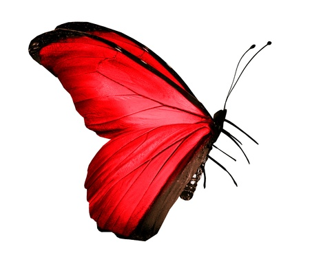 Photo for Red butterfly , isolated on white - Royalty Free Image