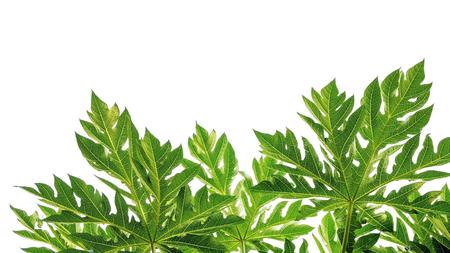 Photo for Papaya leaf on a white background. - Royalty Free Image