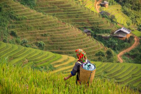 Photo pour local people in Mu Cang Chai, Vietnam she's farmer harvest rice at rice field at sunny day. soft focus. - image libre de droit