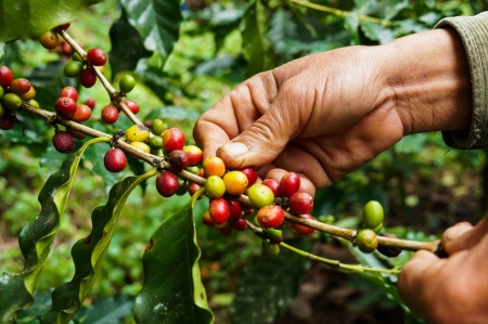 Photo for Picking coffee - Royalty Free Image