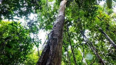 Photo pour Rosewood tree in the forest - image libre de droit