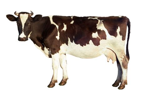 Dairy cow, spotted color, looks at the camera, isolated on a white background. Side view. The fine details of the image preserved: down on the ears and tail, also whiskers
