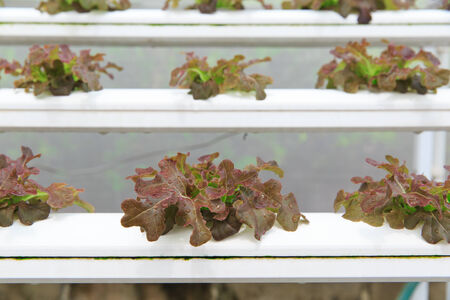 Hydroponic vegetable planting