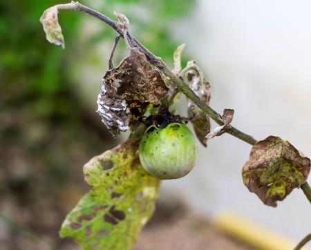 Foto de Fungus on the leaves of the eggplant - Imagen libre de derechos