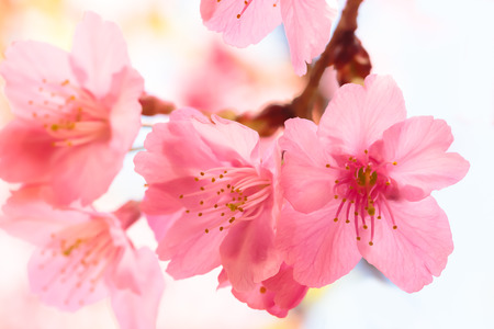 Photo for Pink cherry blossom sakura - Royalty Free Image