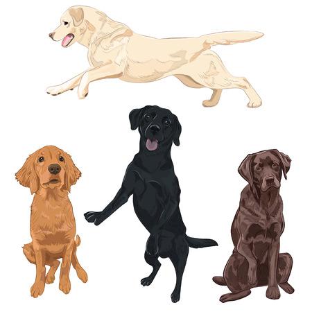 Ilustración de Labrador dogs isolated on white background. Black, chocolate and yellow Labrador breed canines vector illustration. - Imagen libre de derechos