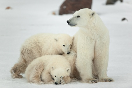 Foto für Polar she-bear with cubs. The polar she-bear  with two kids on snow-covered coast. - Lizenzfreies Bild
