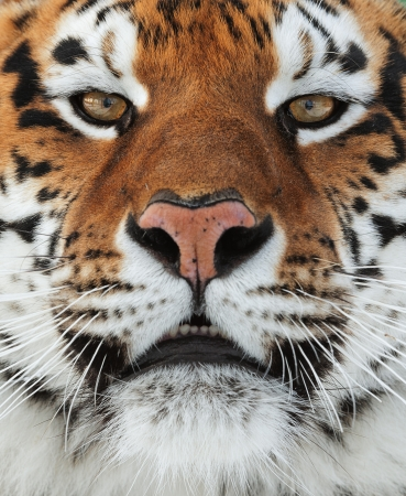 Foto de The Siberian tiger  Panthera tigris altaica  close up portrait  Isolated on white background - Imagen libre de derechos