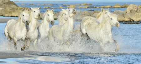 White horses of Camargue running through water. France mural