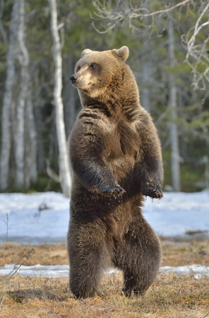 Photo pour Brown bear (Ursus arctos) standing on his hind legs on a bog in the spring forest. - image libre de droit