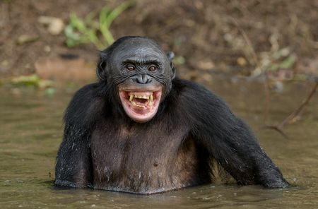 Foto de Chimpanzee Bonobo in the water with pleasure and smiles. Bonobo standing in water looks for the fruit which fell in water. Bonobo (Pan paniscus). Democratic Republic of Congo. Africa Natural habitat. - Imagen libre de derechos