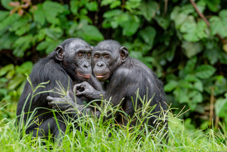 Photo for Bonobos in natural habitat on Green natural background. The Bonobo ( Pan paniscus), called the pygmy chimpanzee. Democratic Republic of Congo. Africa - Royalty Free Image