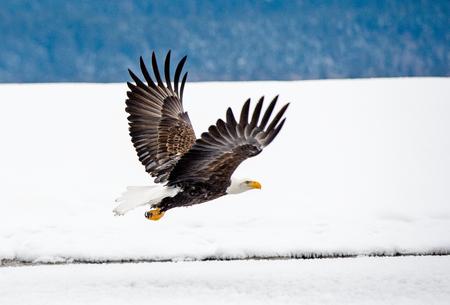 Foto de Bald Eagle ( Haliaeetus leucocephalus washingtoniensis ) in flight. Alaska in snow - Imagen libre de derechos