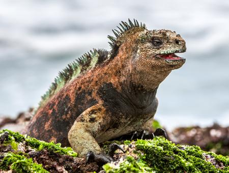 Photo pour A male of Galapagos Marine Iguana resting on lava rocks (Amblyrhynchus cristatus). The marine iguana on the black stiffened lava.  Galapagos Islands - image libre de droit