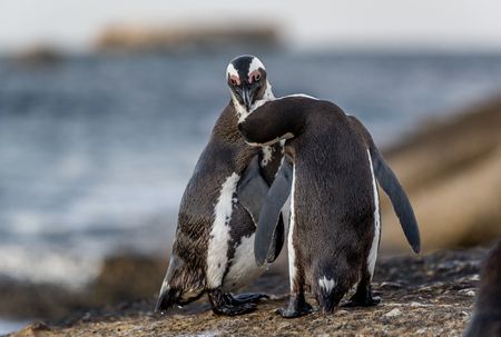 Photo pour Kissing African penguins on the rock. African penguin, Scientific name: Spheniscus demersus, also known as the jackass penguin and black-footed penguin. On the rocks at Boulders Beach. South Africa. - image libre de droit
