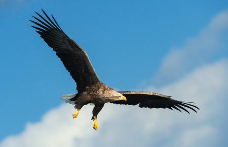 Photo pour Adult White-tailed eagle in flight. Blue sky background. Scientific name: Haliaeetus albicilla, also known as the ern, erne, gray eagle, Eurasian sea eagle and white-tailed sea-eagle. - image libre de droit