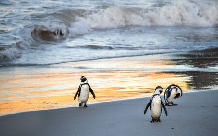 Photo pour African penguins walk out of the ocean to the sandy beach. African penguin also known as the jackass penguin, black-footed penguin. Scientific name: Spheniscus demersus.  South Africa - image libre de droit