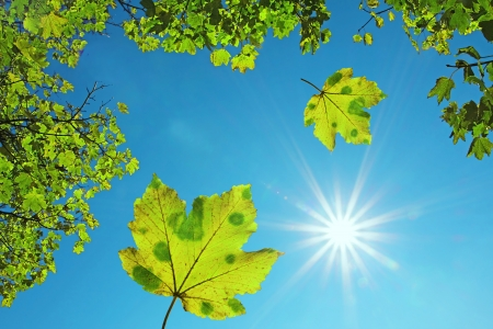 Photo for crown of a maple tree and falling maple leaves, against blue sky with bright sunshine  natural background  - Royalty Free Image