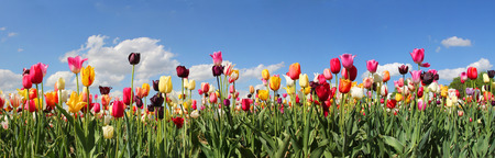 Foto de panorama tulip field with various type and color - Imagen libre de derechos