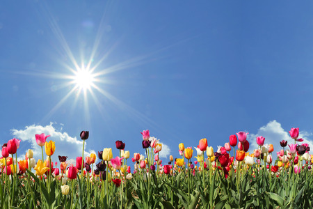 Foto de panorama tulips in various colors, blue sky with bright sunshine and freespace - Imagen libre de derechos