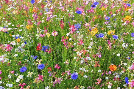 Photo pour beautiful flower meadow with various colorful flowers, fodder plants for bees. - image libre de droit