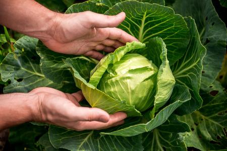 Photo pour in the hands of white cabbage - image libre de droit