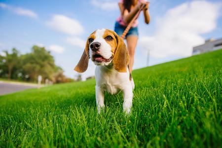 Foto de Dog on green meadow. Beagle puppy walking. Dog beagle for a walk - Imagen libre de derechos