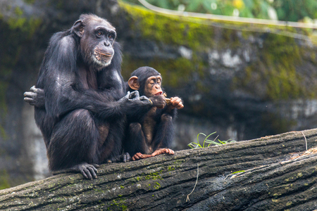 Photo for Young chimp hangs on and sitting beside chimp's Zoo Taipei in Taiwan - Royalty Free Image
