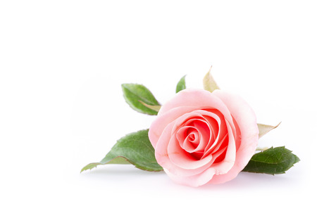 Photo pour pink rose flower on white background - image libre de droit