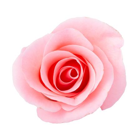 Photo pour pink rose flower on white background - image libre de droit