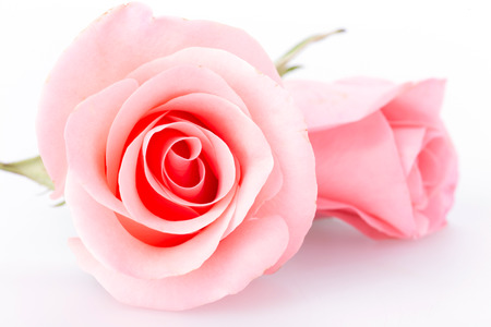 Photo for pink rose flower on white background - Royalty Free Image