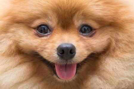 Foto de puppy pomeranian dog cute pets in home, close-up image - Imagen libre de derechos