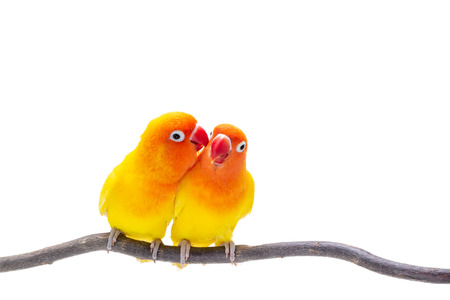 Foto de The Double Yellow Lovebird stand on a piece of wood on white background - Imagen libre de derechos