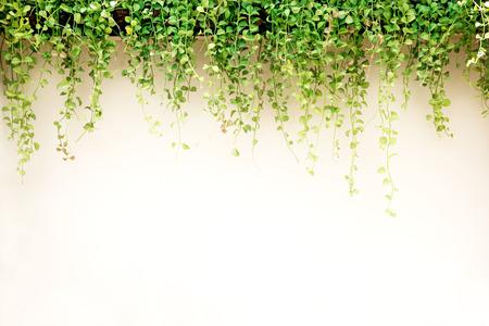 Foto de White wall green ivy plant. - Imagen libre de derechos