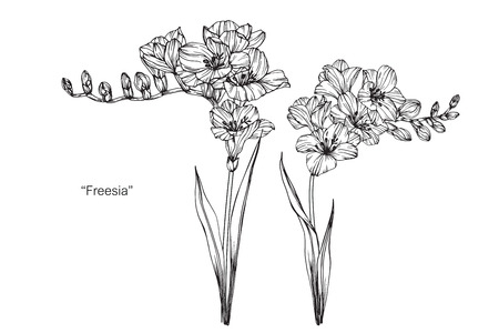 Illustration for Freesia flower. Drawing and sketch with black and white line-art. - Royalty Free Image