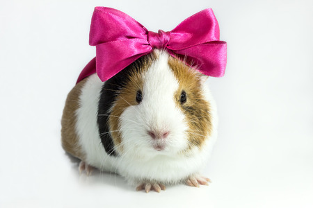 Photo for Guinea pig with a bow on his head on a white - Royalty Free Image