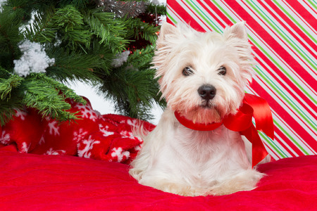 Westie dog with ribbon bow sitting on red cover surrounded by christmas presents and new year tree