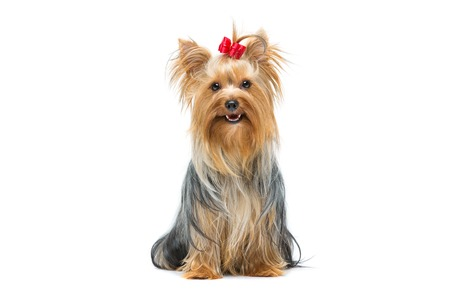 Photo pour Beautiful yorkshire terrier dog with red bow sitting. Isolated over white background. - image libre de droit
