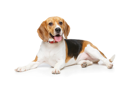 Photo pour beautiful beagle dog isolated on white - image libre de droit