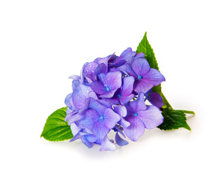 Photo pour Blue Hydrangea. - image libre de droit