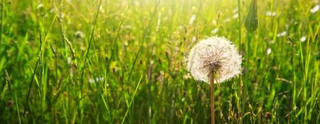 Photo pour Spring flowers dandelions in green grass. - image libre de droit
