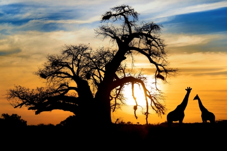 Photo pour Spectacular African sunset with Baobab and Giraffe - image libre de droit