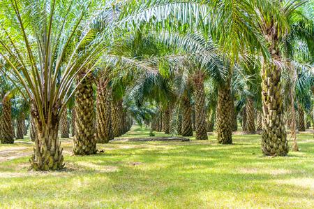 Photo pour palm oil plantation growing up - image libre de droit