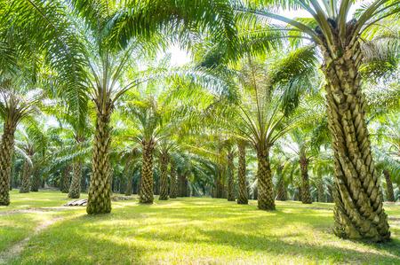 Photo pour palm oil tree plantation at malaysia - image libre de droit