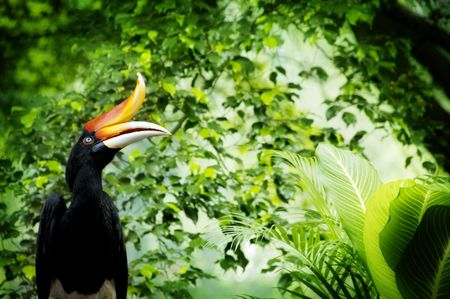 Photo for Borneo exoctic great hornbill in tropical rainforest, Malaysia. - Royalty Free Image