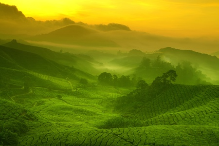 Photo pour Sunrise view of tea plantation landscape at Cameron Highland, Malaysia. - image libre de droit