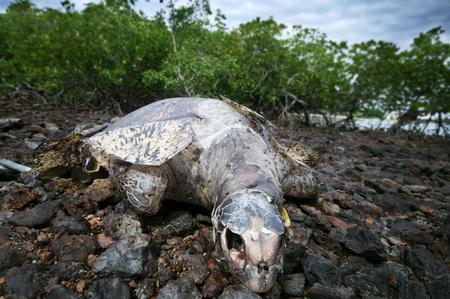 Photo for Dead sea turtle at mangrove area, Port Dickson, Malaysia, Asia - Royalty Free Image